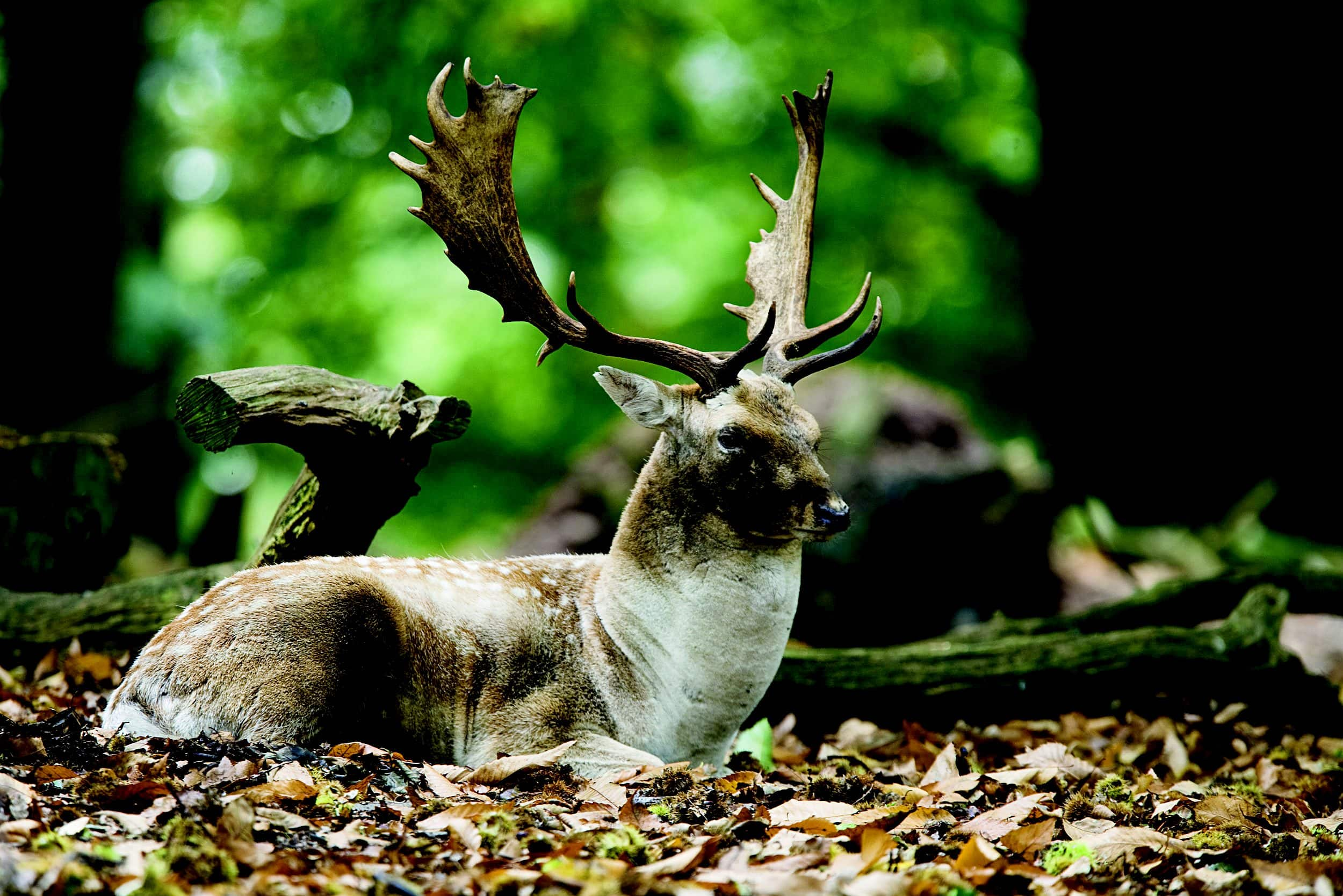 One of the many deer in Richmond Park