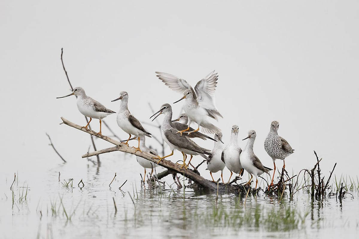 Sandpipers at Mai Po Marshes