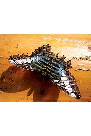 A rare butterfly at Teluk Bahang, Penang