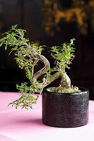 A bonsai tree in Man Wah