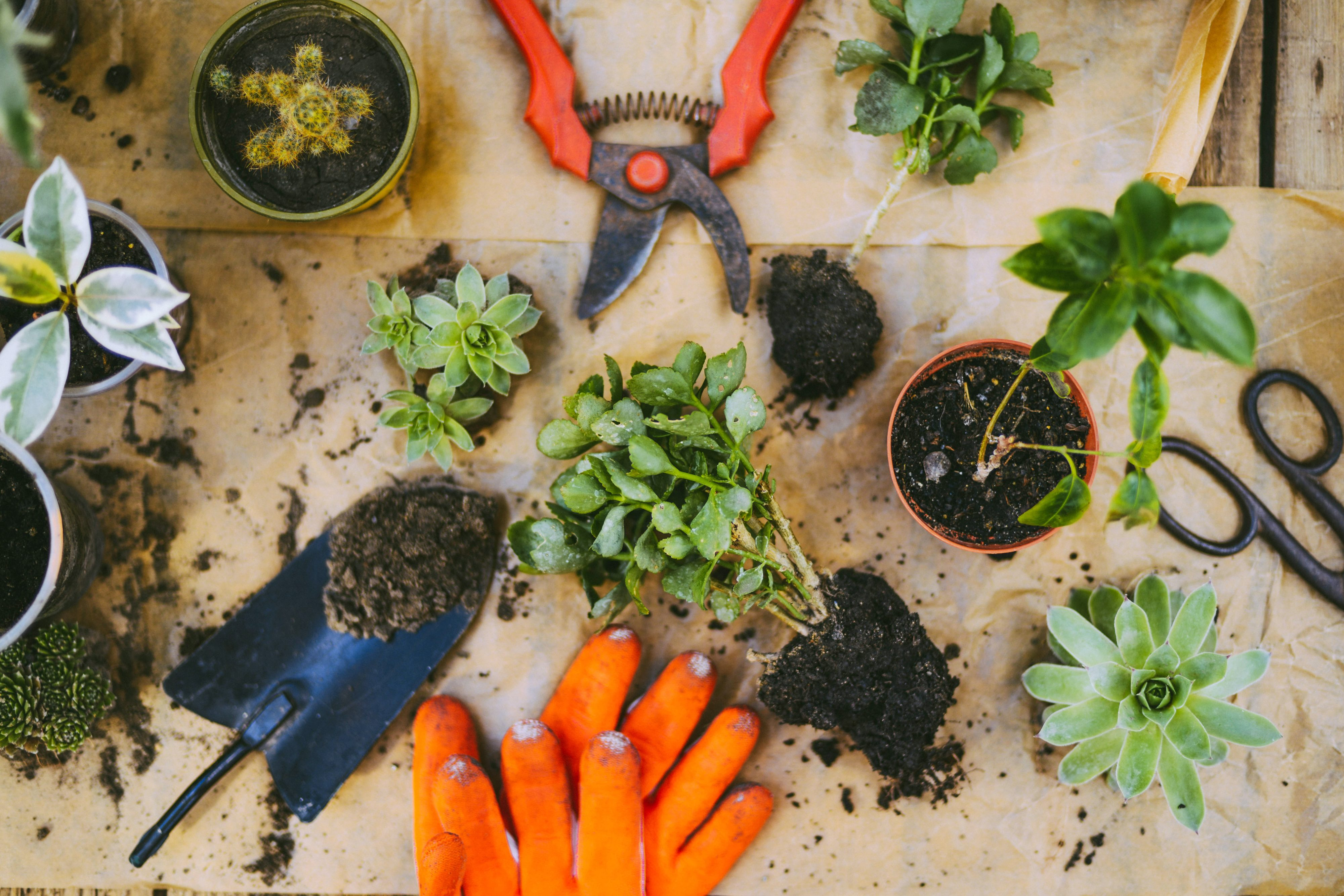 Overhead view of a potting table complete with plant's orange gardening gloves and a trowel