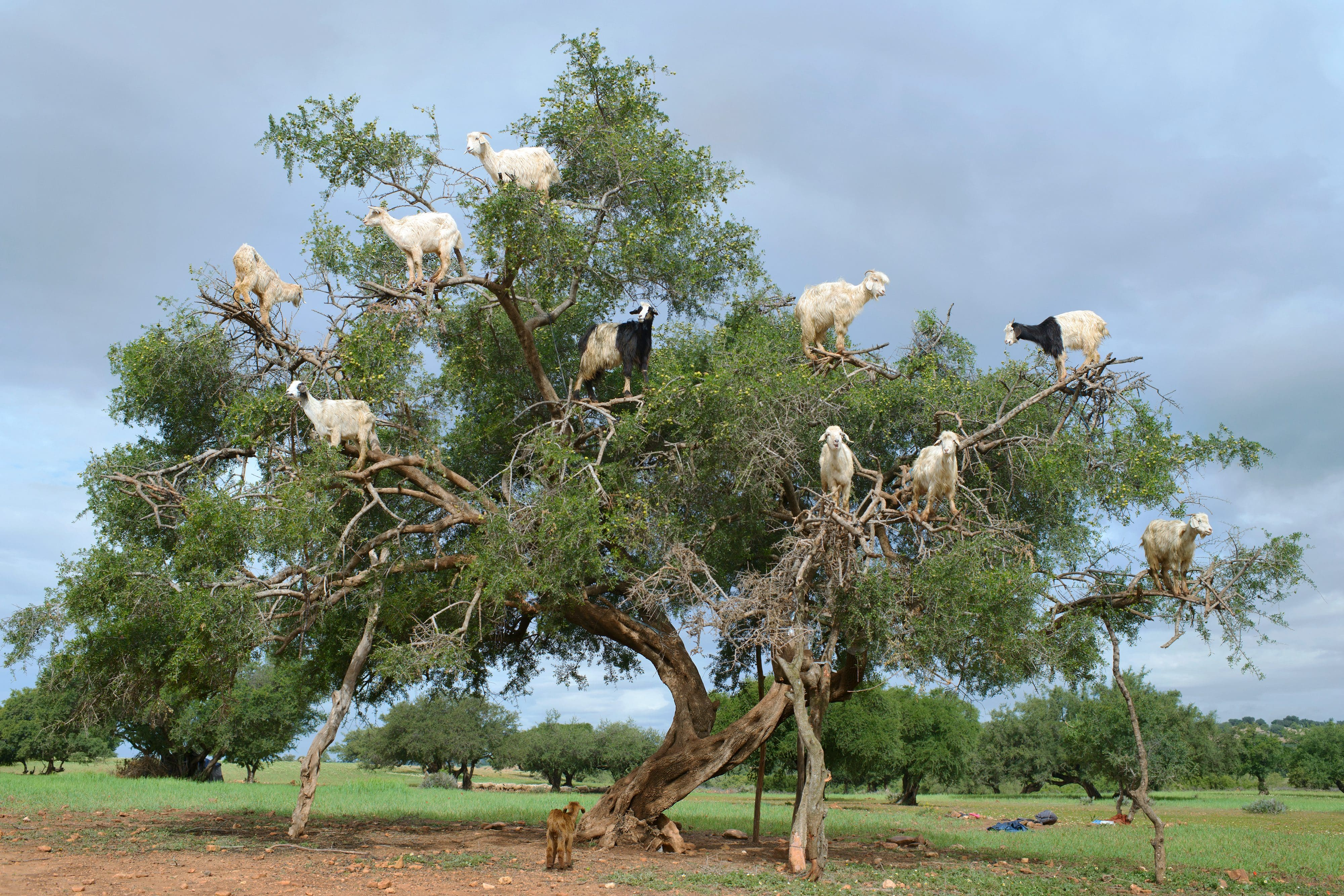 Goats perched in a tree in Marrakech