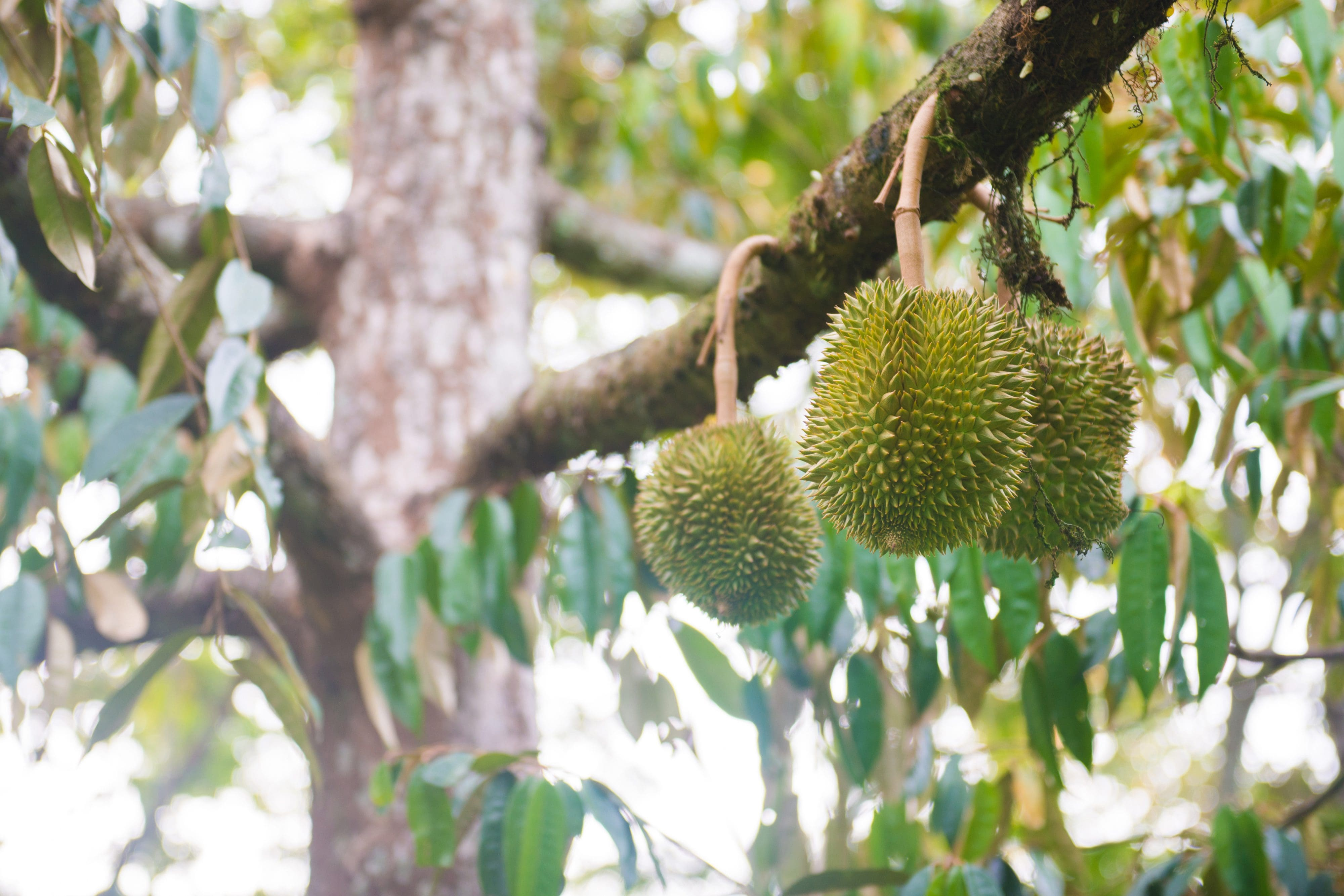 Close up of a durian tree with three hanging fruit