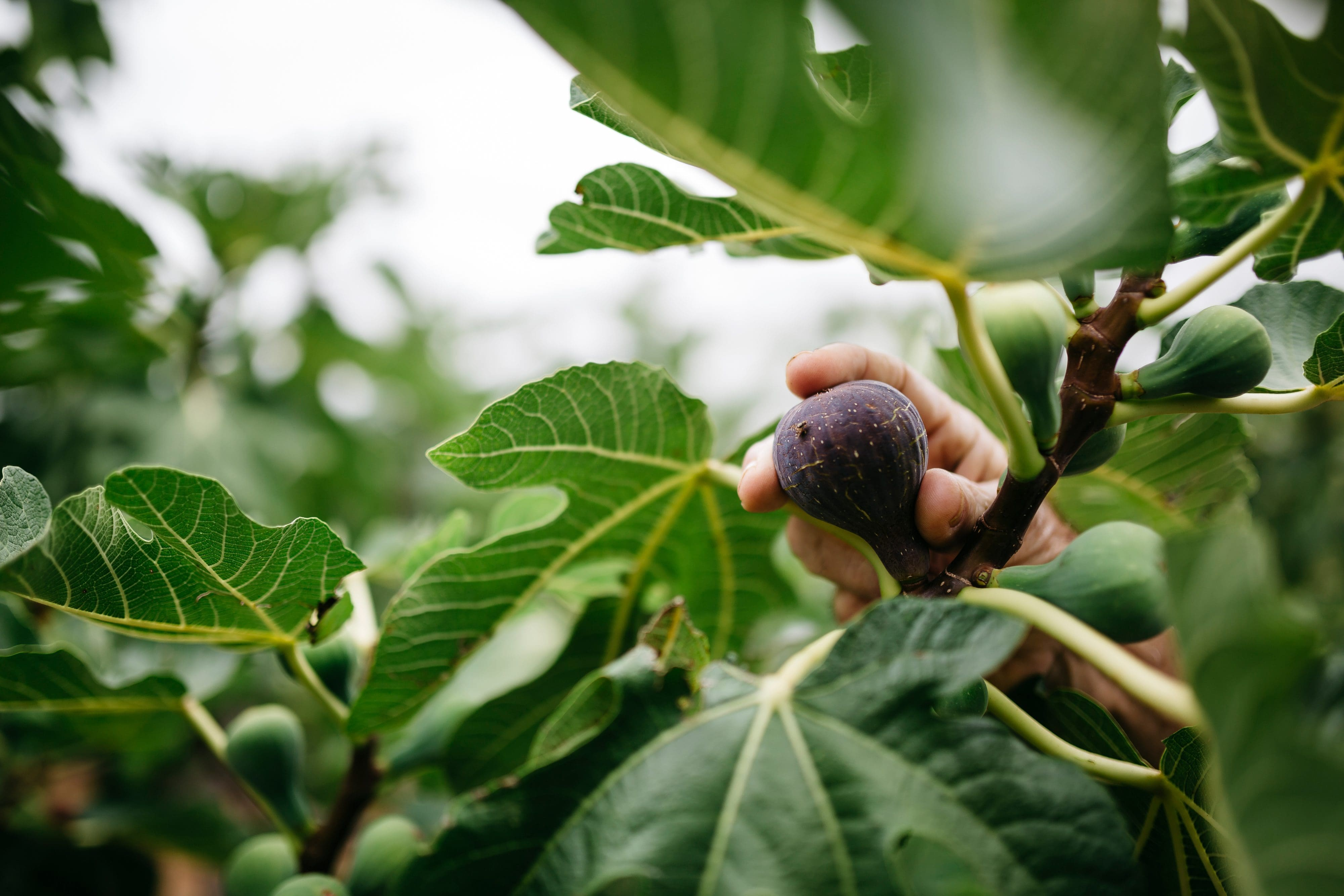 Close up of a hand picking a fig from a tree