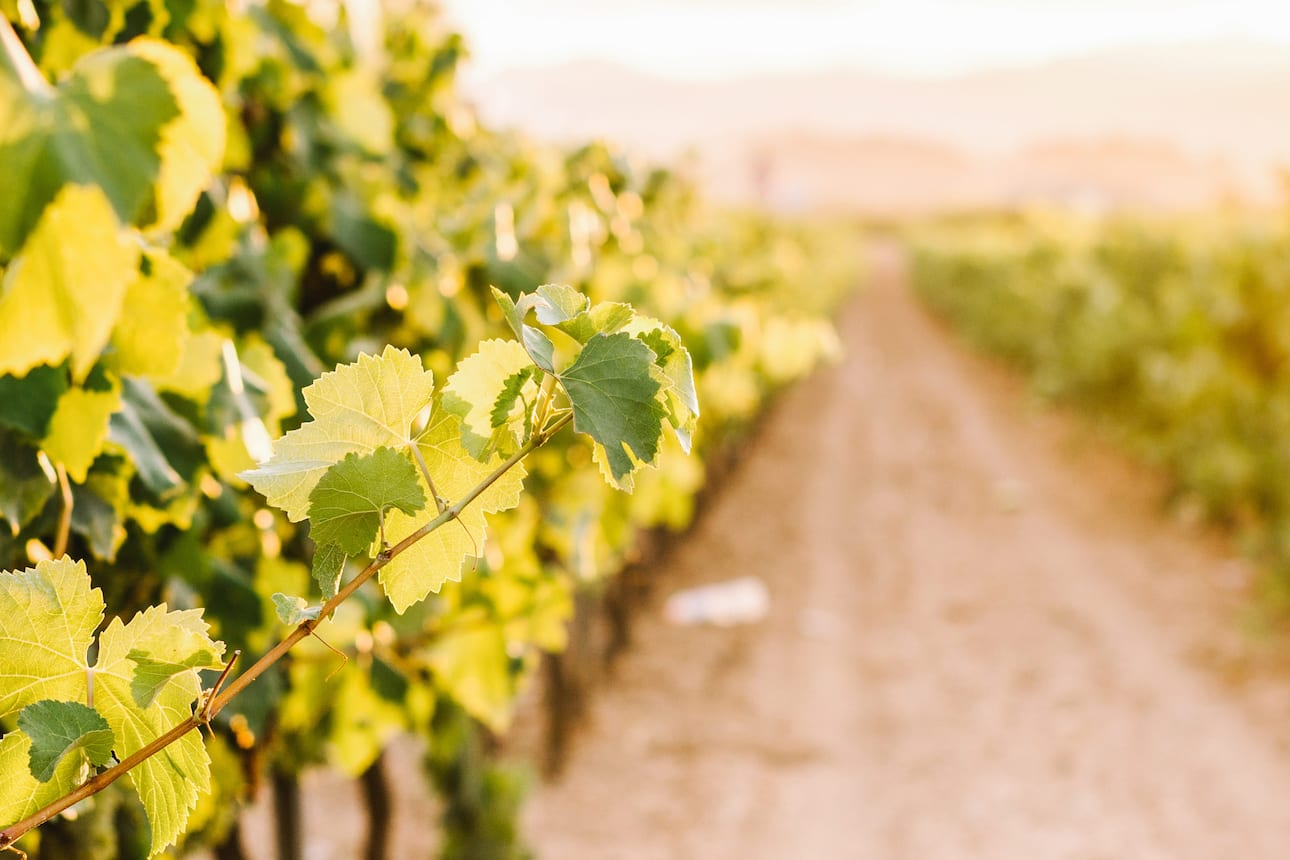 Close-up of the vines in a vineyard