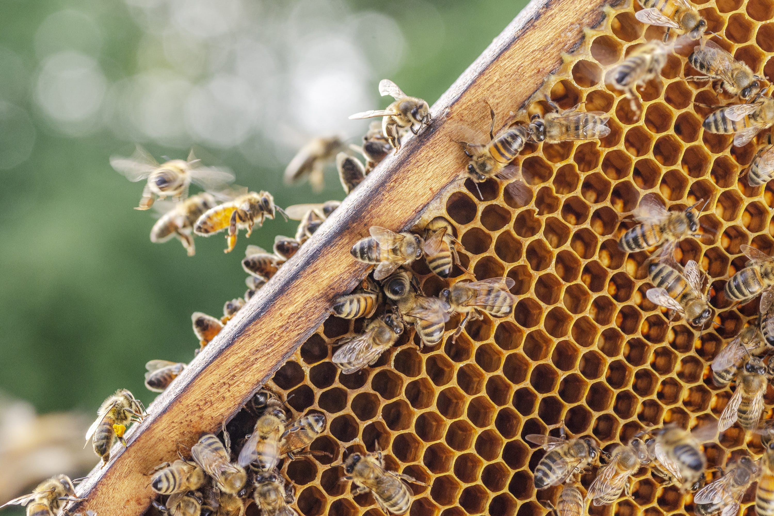 Bees surround an on-site beehive at Mandarin Oriental