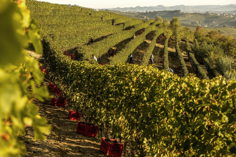 Vineyards at GD Vajra, Italy