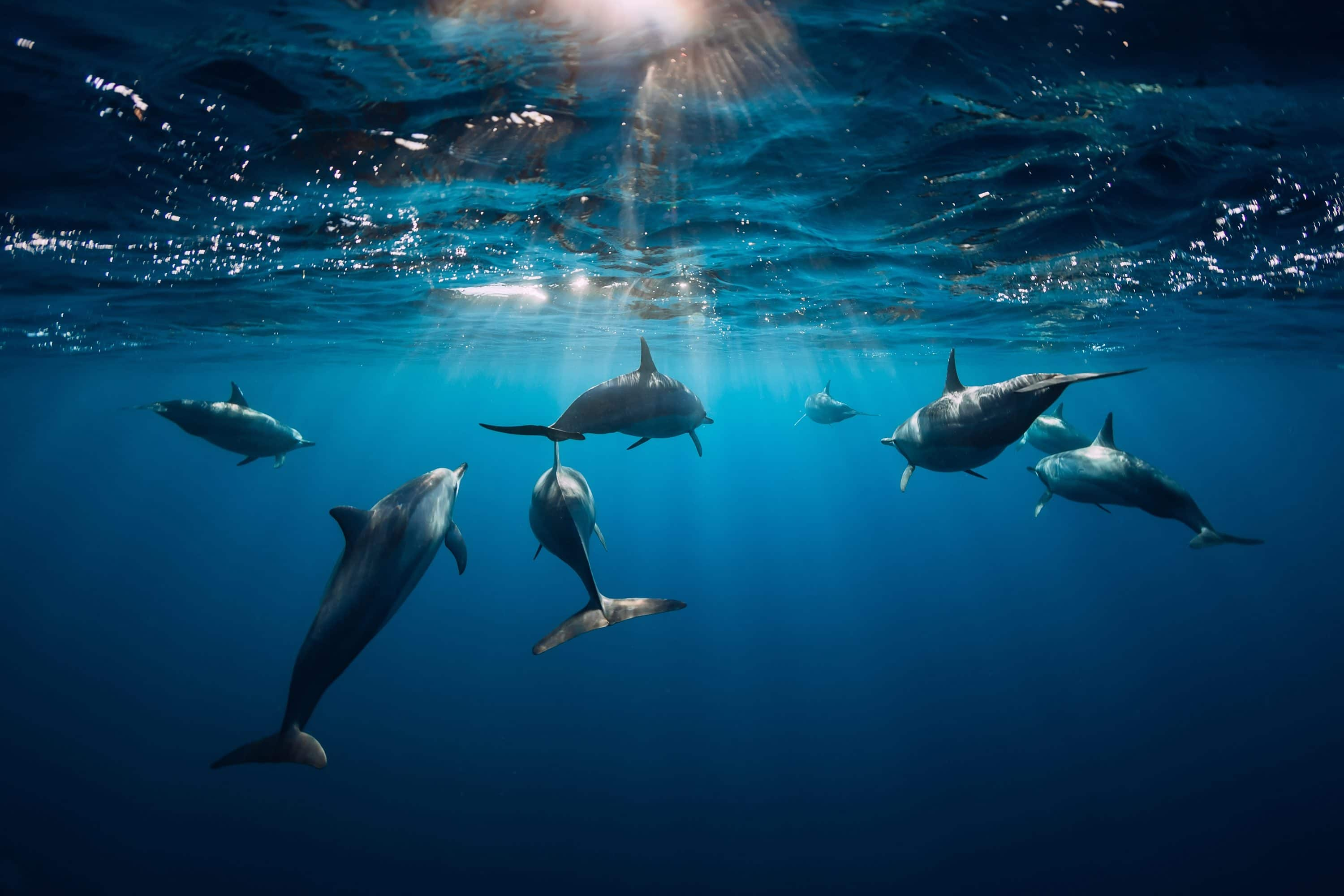 A pod of dolphins swim beneath the surface