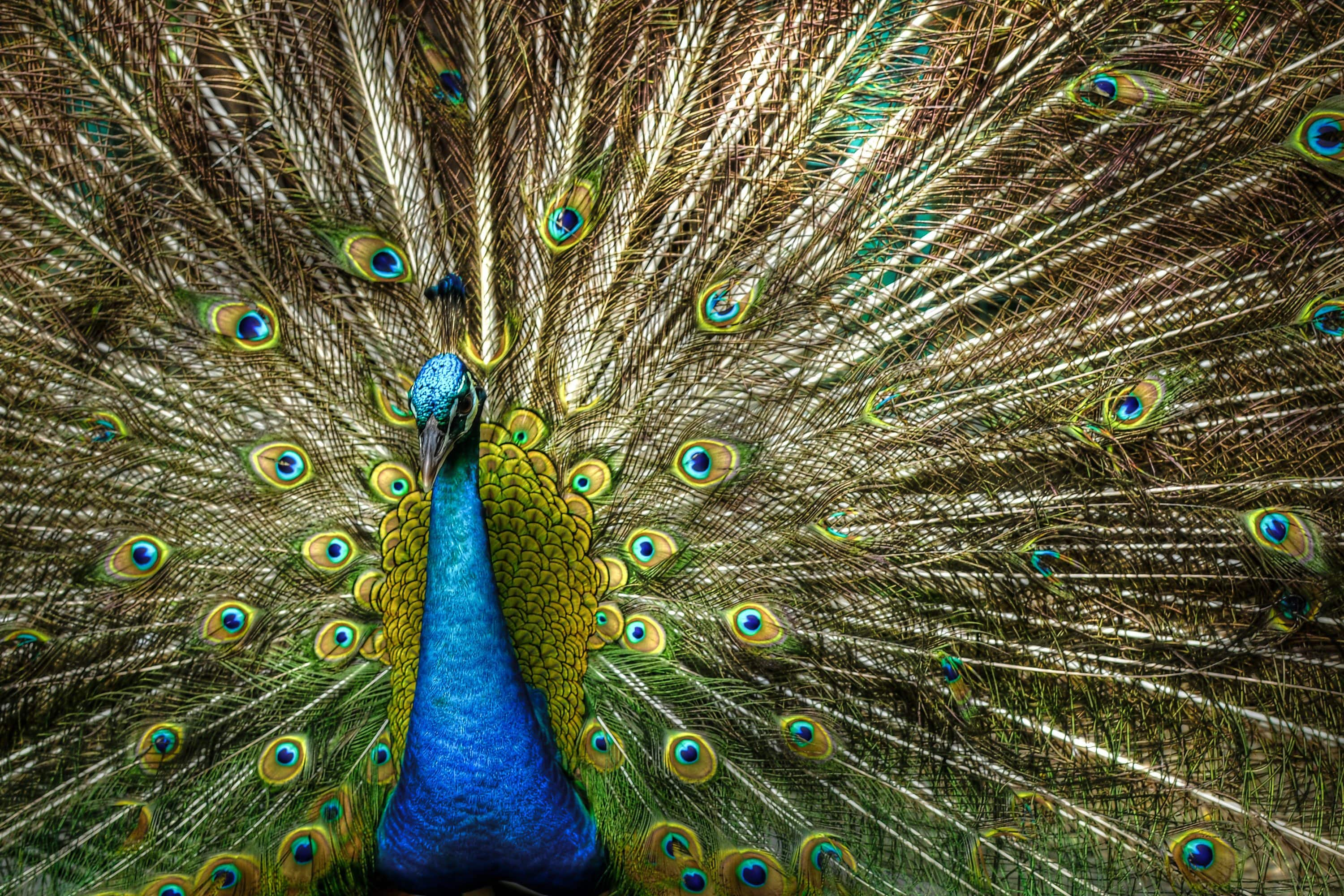A peacock displays its feathers
