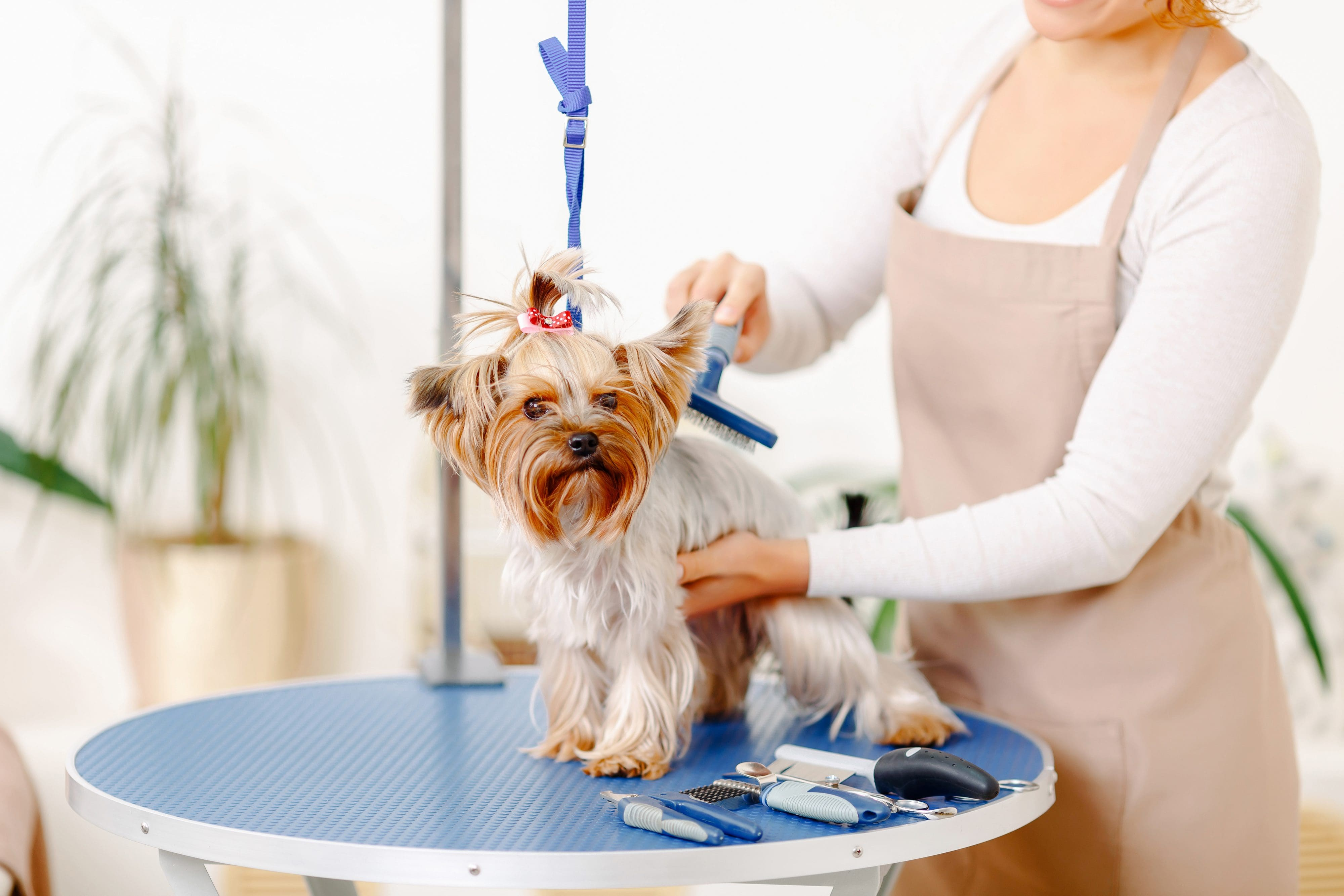 A small terrier dog with a pink bow in its hair gets groomed at Felix Canis