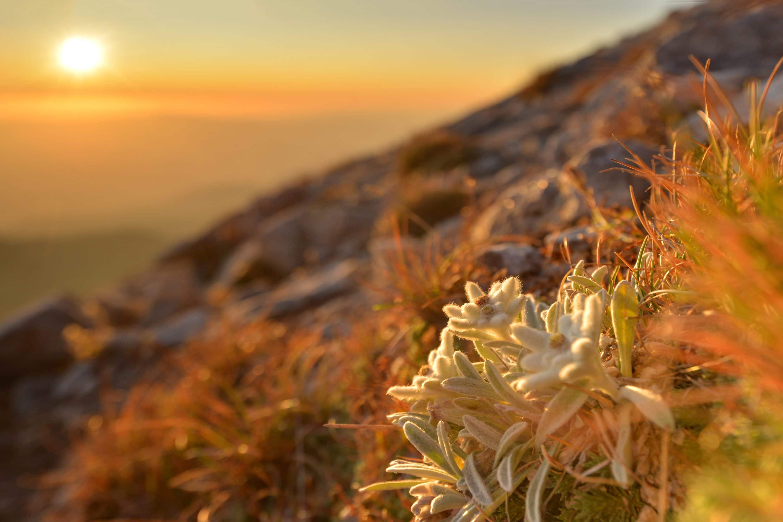 The edelweiss flower