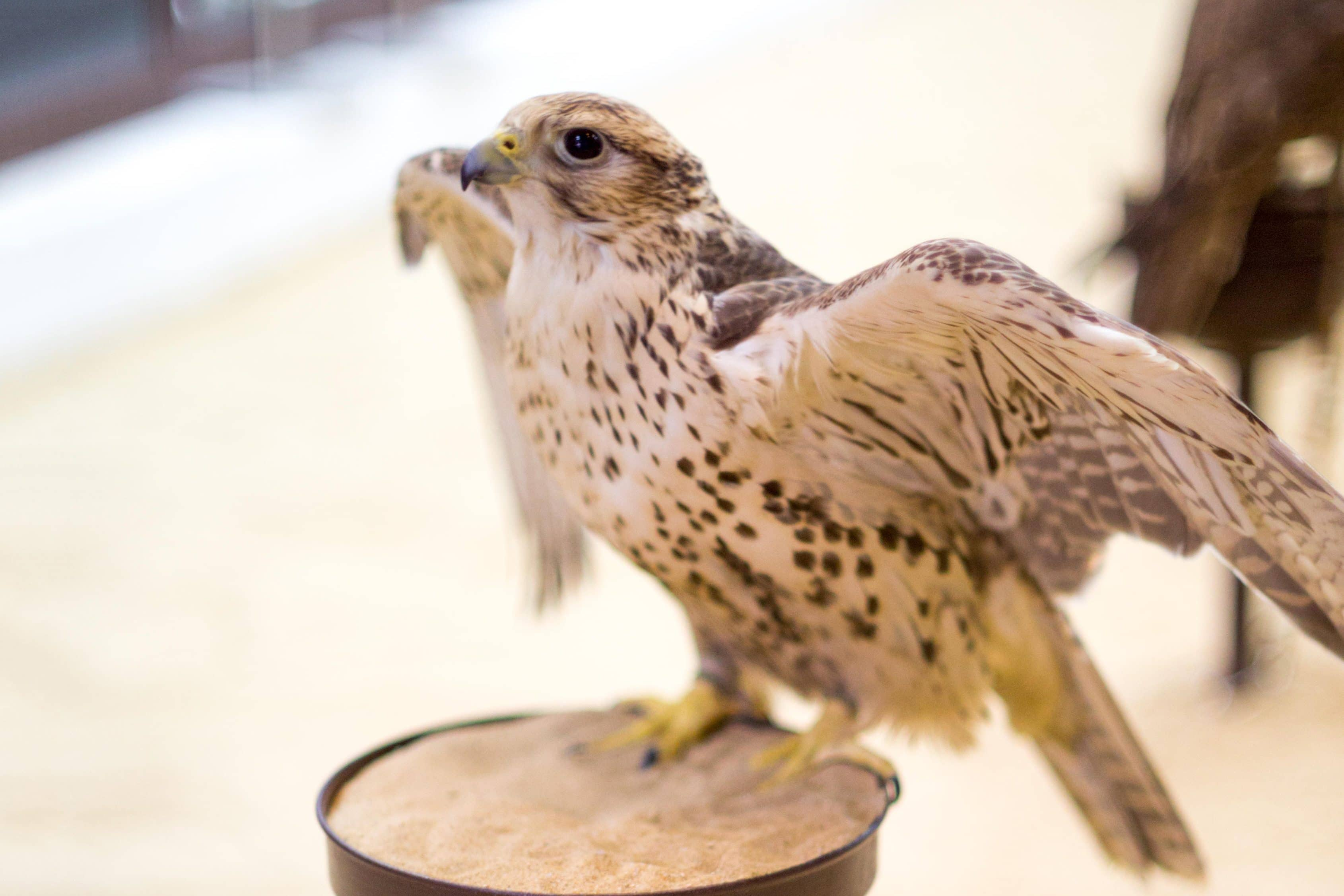 A bird spreads its wings at The Falcon Souq