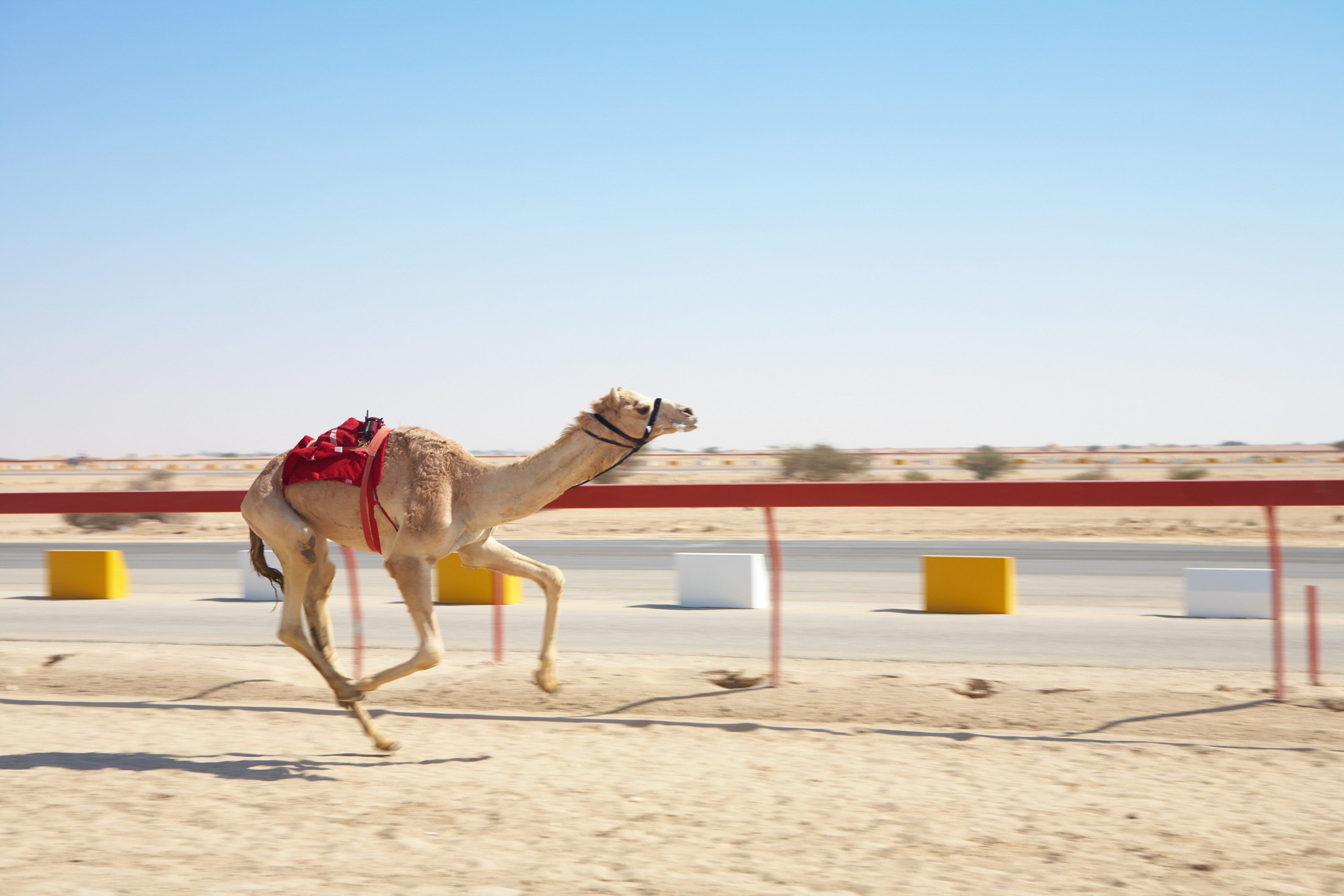 A camel races at the Al Shahaniya Racetrack