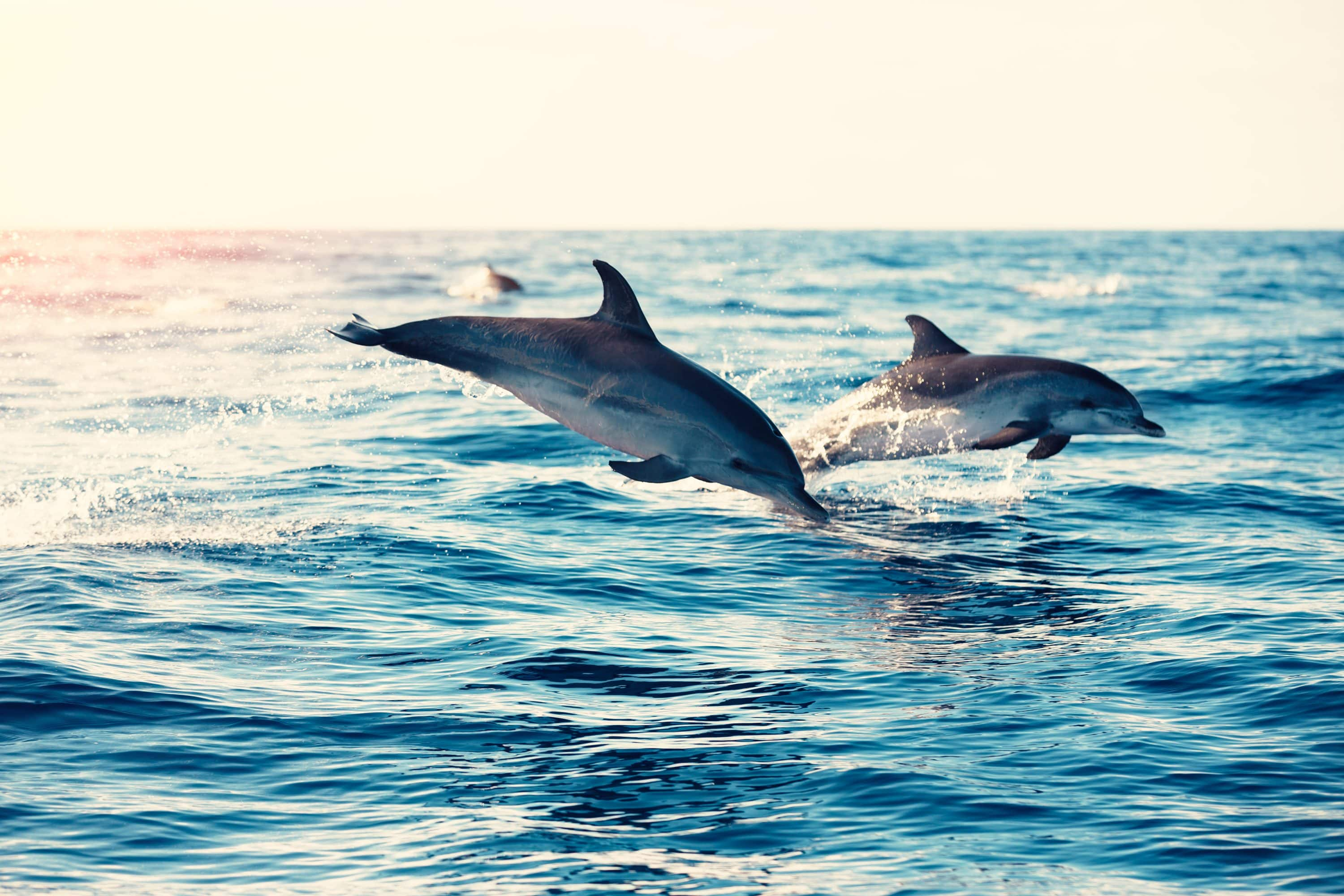Dolphins jump in the sea