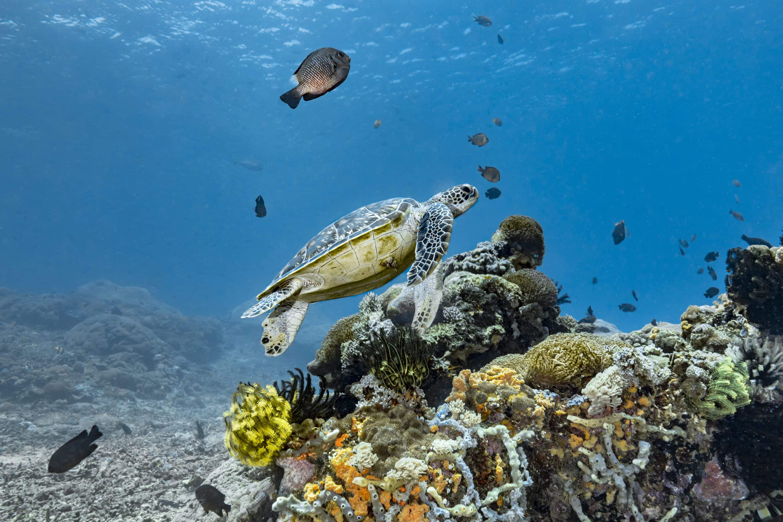 Turtle swims in ocean