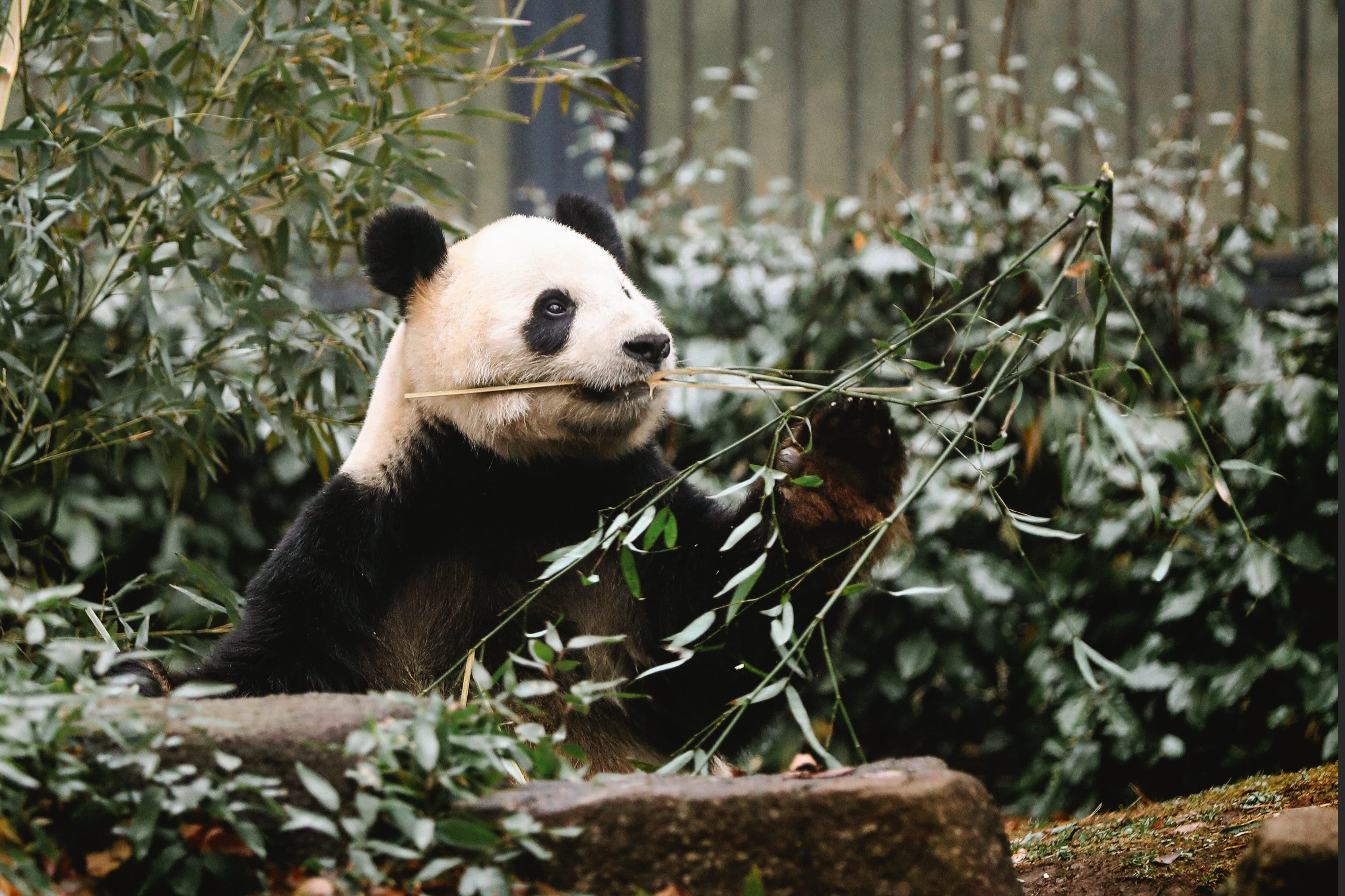 A panda sat chewing a leafy branch at Ueno Zoo