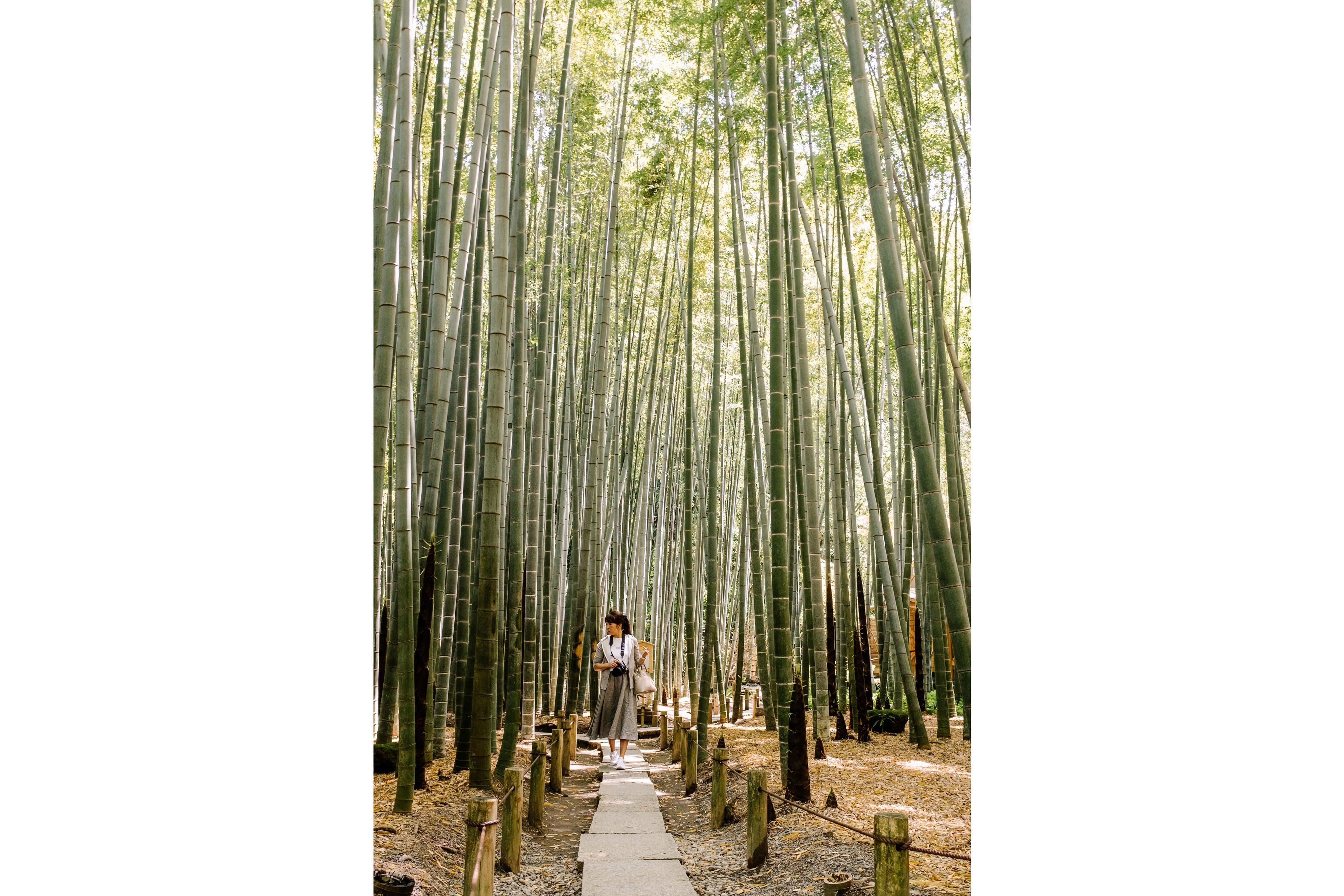 Bamboo grove at the temple of Hōkoku-ji