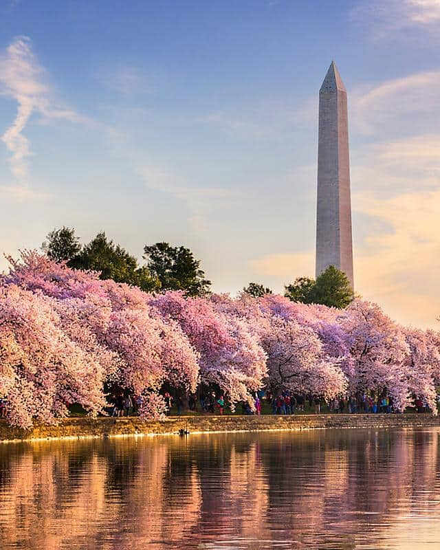 Cherry blossom trees in bloom along the river