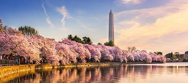Cherry blossom trees in bloom along the river bank