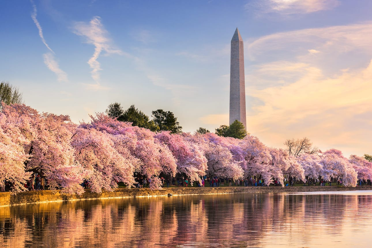 View of the Washington Monument with cheery trees in full bloom