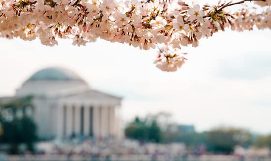 Cherry blossoms blooming in Washington, D.C.