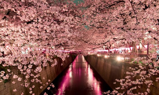 Pink cherry blossom trees lining a river