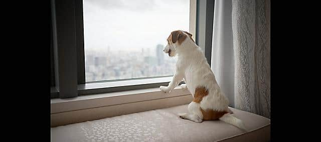 dog looking out from window