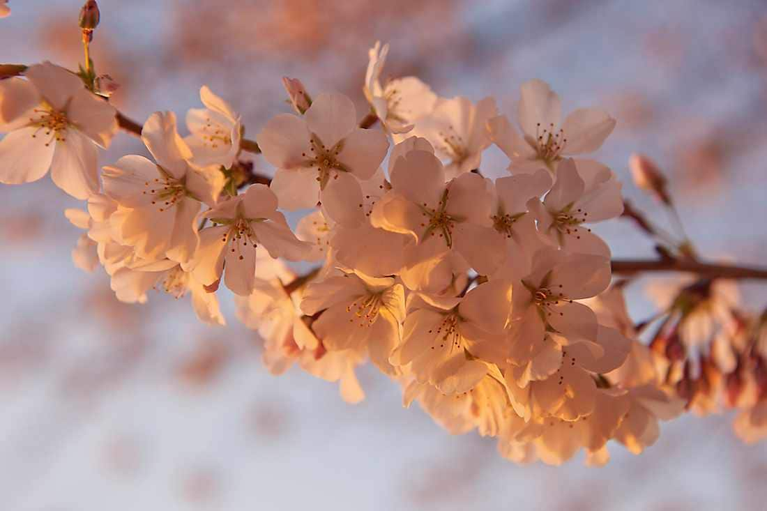 National Cherry Blossoms in Full Bloom