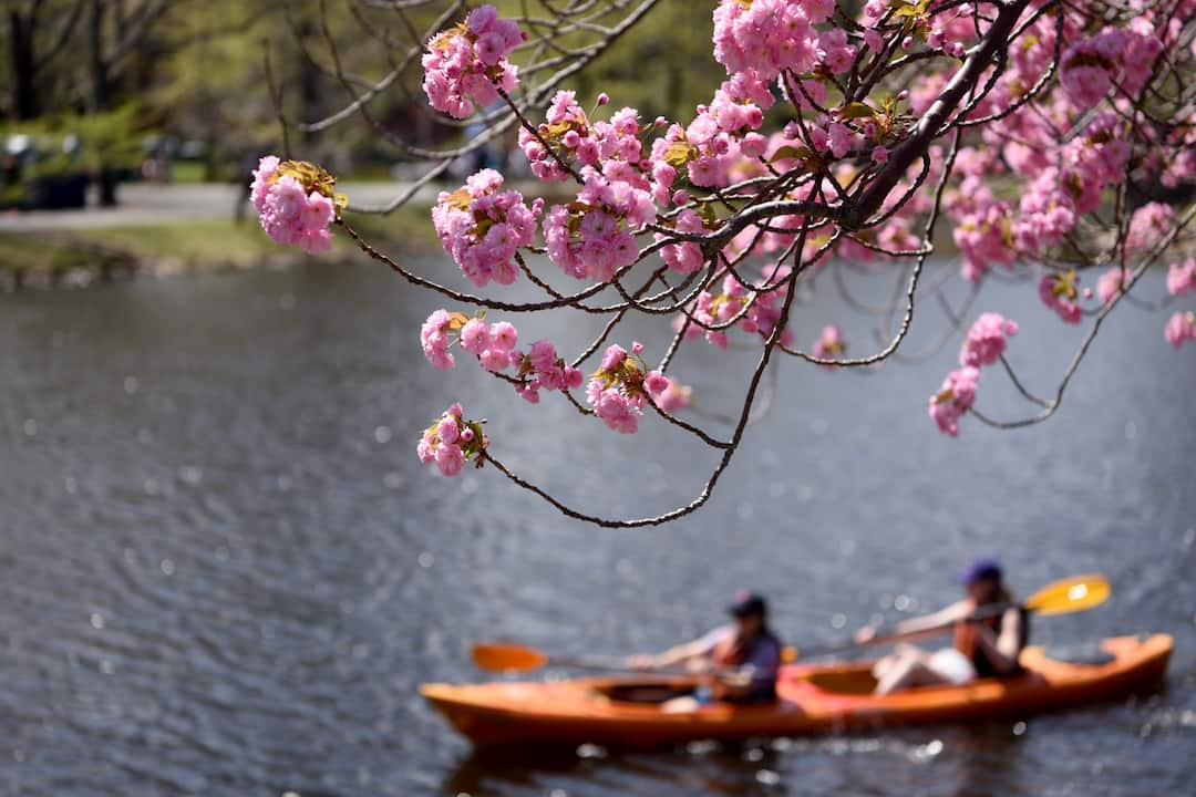 Kayak with the Cherry Blossoms
